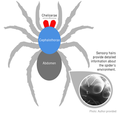 Spider body diagram