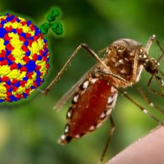 Dengue virus and mosquito