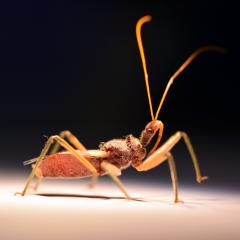 Assassin bug. Credit: Jiayi Jin, Institute for Molecular Bioscience, UQ.