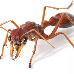 Bull ant venom could put the bite on pain