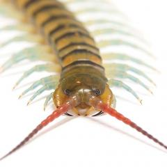 Centipede toxins are giving researchers insights into the evolution of peptides.