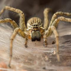 Funnel-web spider. Credit: Sharath J Vois/iStock.