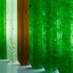 Microalgae culture