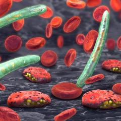 The malaria parasite Plasmodium killing red blood cells. Credit: Shutterstock/Christoph Bergstedt