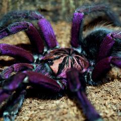 Purple tarantula bird spider. Credit: Shutterstock/Lucasz Kowalkowski.