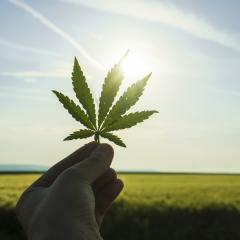 Hand holding a marijuana leaf on a background of blue sky