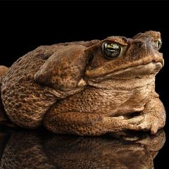 The Cane Toad Challenge empowers the public to trap the poisonous cane toad's tadpoles.