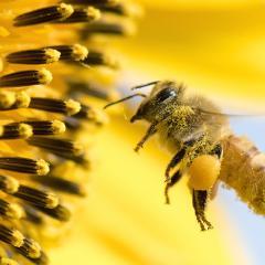 Honeybee hovering near flower.
