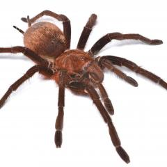 Venezuelan Pinkfoot Goliath tarantula
