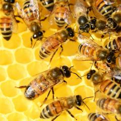 Honey bees clustered on honeycomb