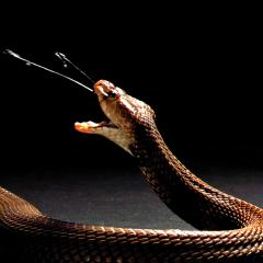 Venom from spitting cobras has evolved as a form of self-defence, rather than for capturing prey. Credit: The Trustees of the Natural History Museum, London and Callum Mair