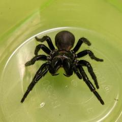 Fraser Island (K'gari) funnel web in a container